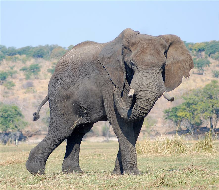 Close-up of an Elephant in the middle of an open field.