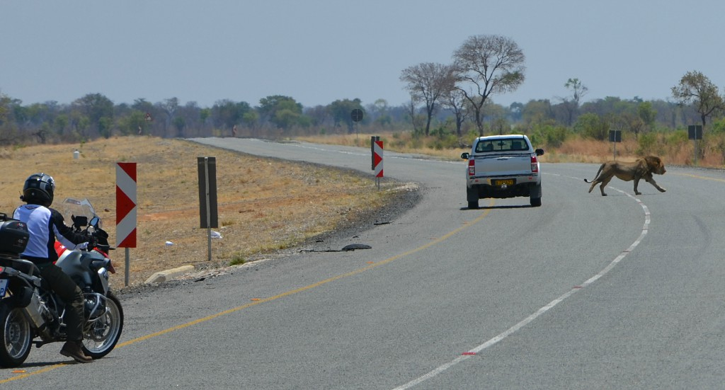A motorbike slightly behind a 4x4 who had just drove past a lion in an open road.